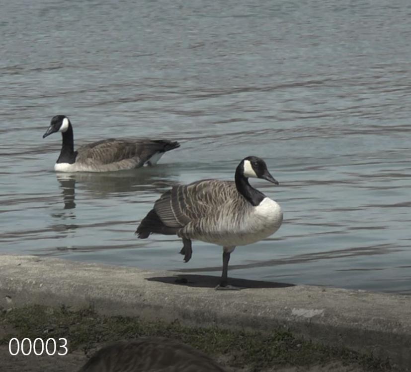 Goose#1.JPG