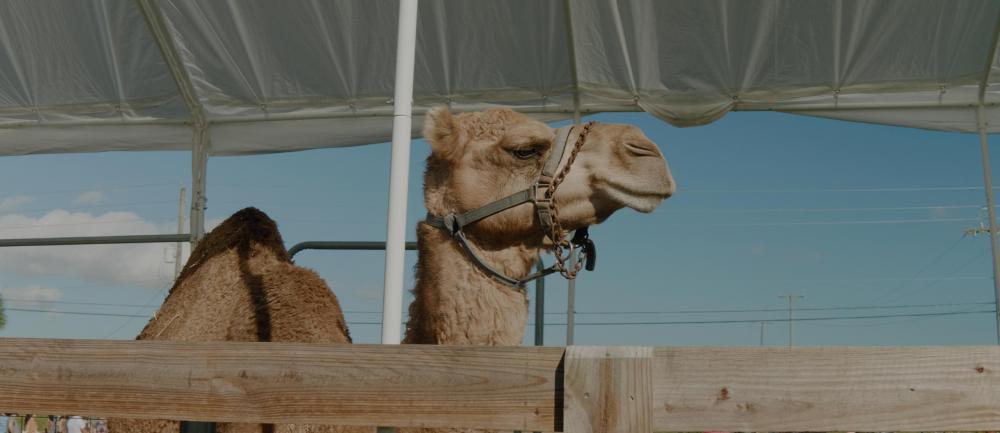 02-camel-main.jpg