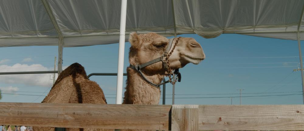 03-camel-linear.jpg