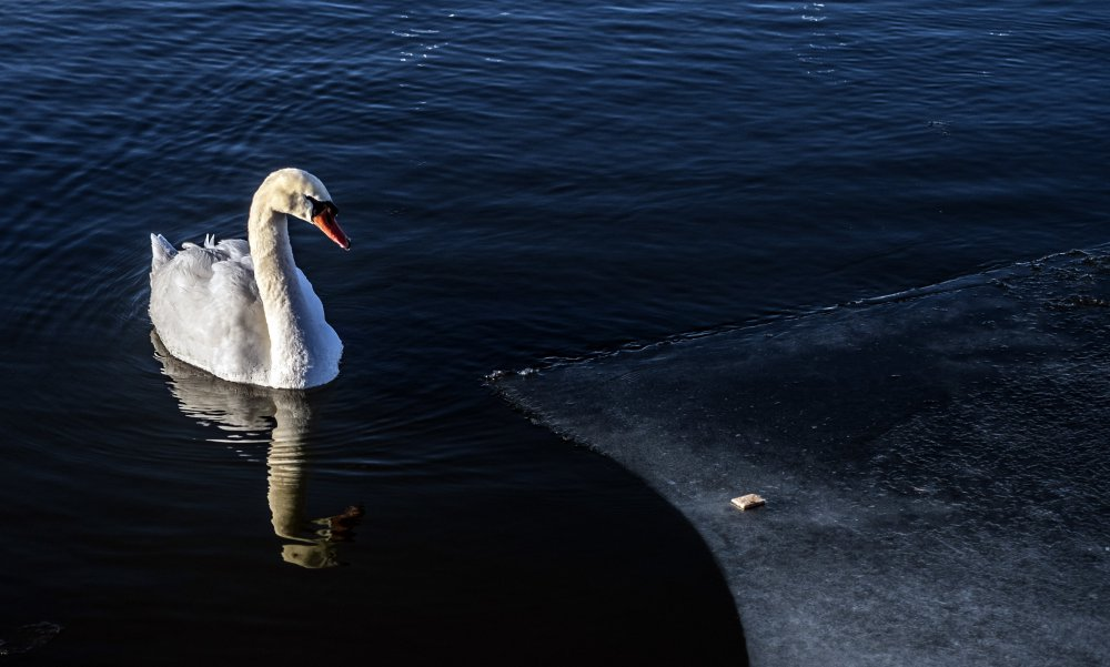 Swan with reflection.jpg