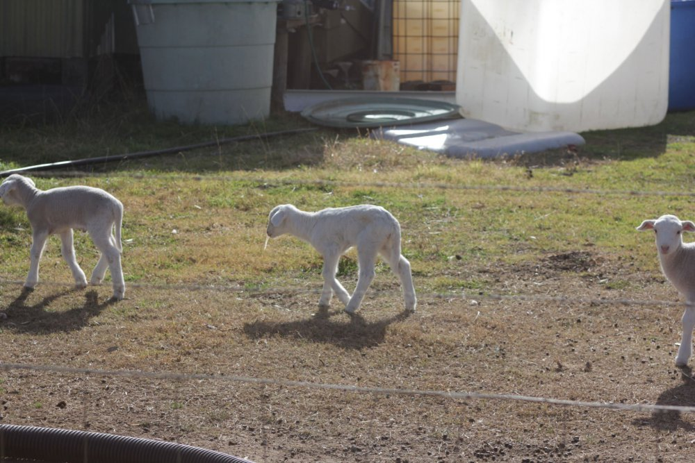 lambs-single-file.jpg