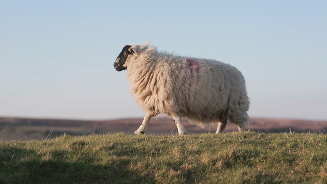 5D Mark III - sheep