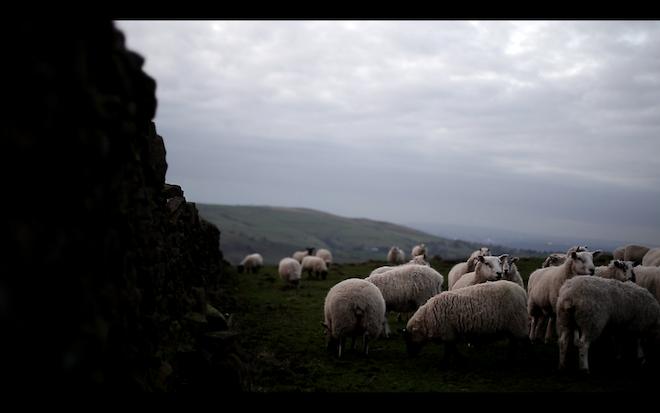 5D Mark III - sheep