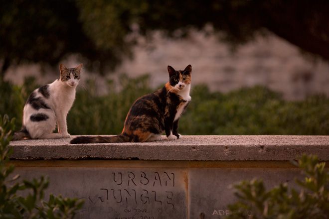Canon 135mm F2L - cats
