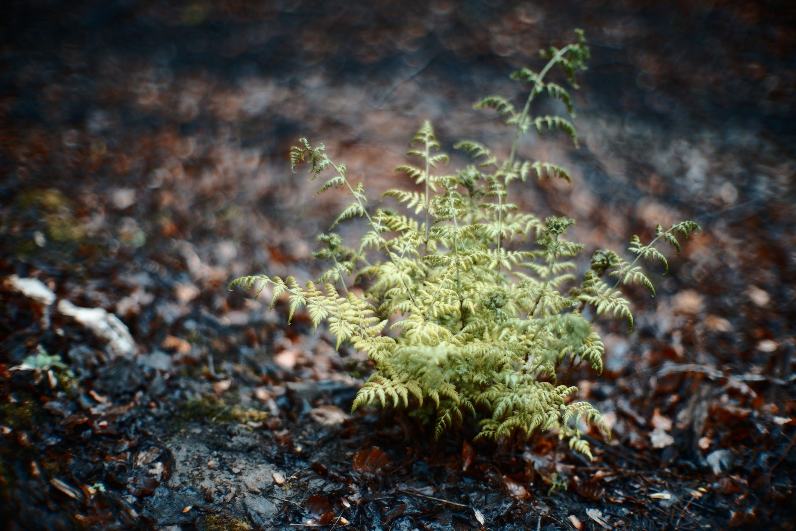 Sigma Fp, Canon 50mm F095 Dream Lens - Fern