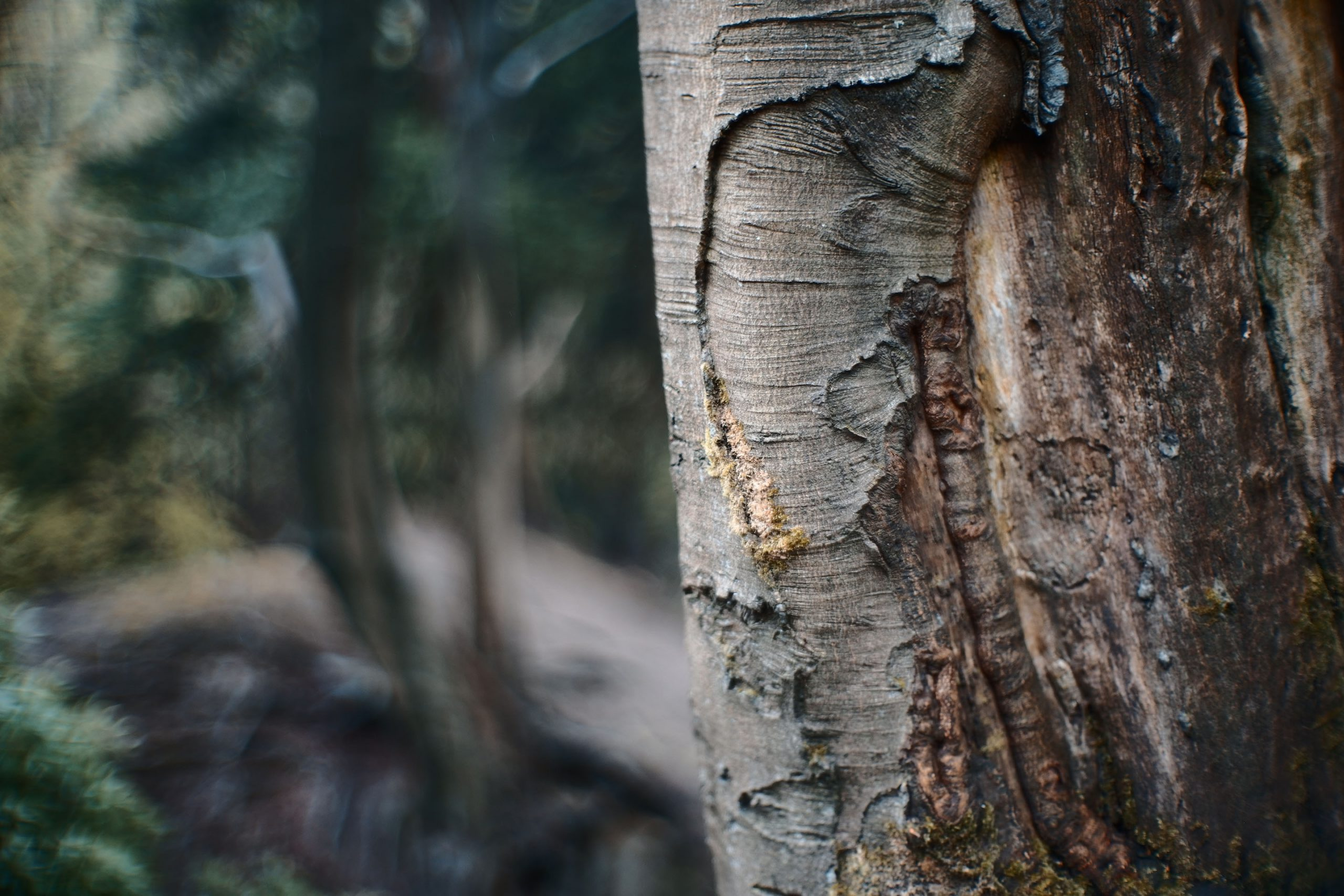 Sigma Fp, Canon 50mm F095 Dream Lens - Bark
