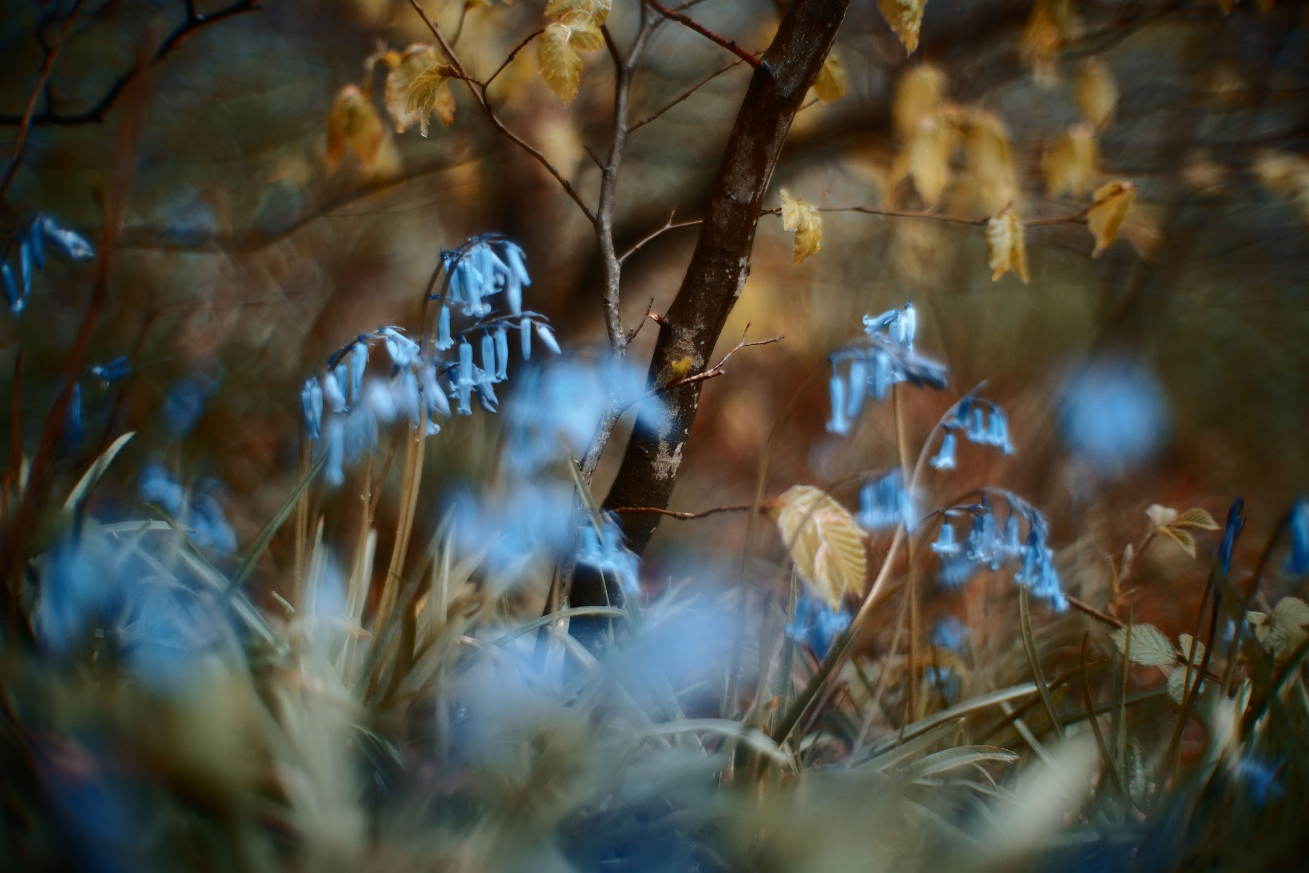 Sigma Fp, Canon 50mm F095 Dream Lens - Bluebells
